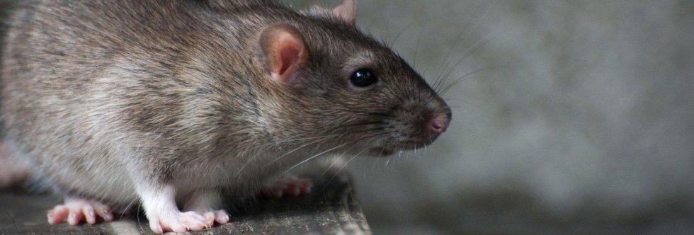 derattizzazione, derattizzazione topi