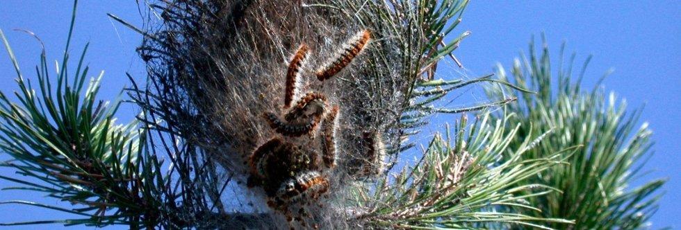 lotta alla processonaria, disinfestazione, disinfestazione insetti