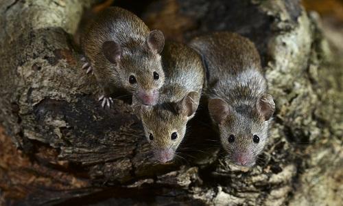 topi escono dalla tana