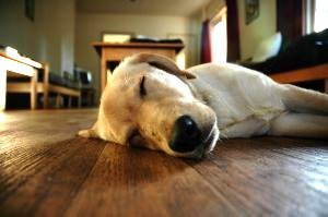 hardwood floor and pets