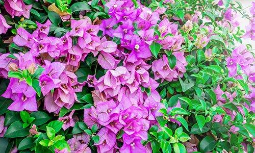 Bugainvillea in fiore