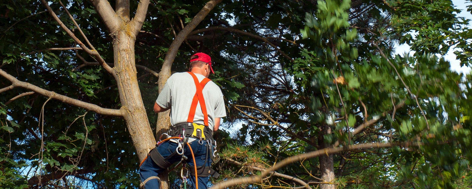 Professional cutting down a tree