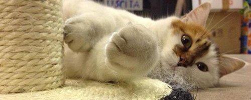 gatto mentre gioca con un tiragraffi