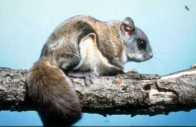 flying squirrel essay Flying squirrels is in subfamily petauristinae they are arboreal and nocturnal they do not actually fly, but glide between trees by a.