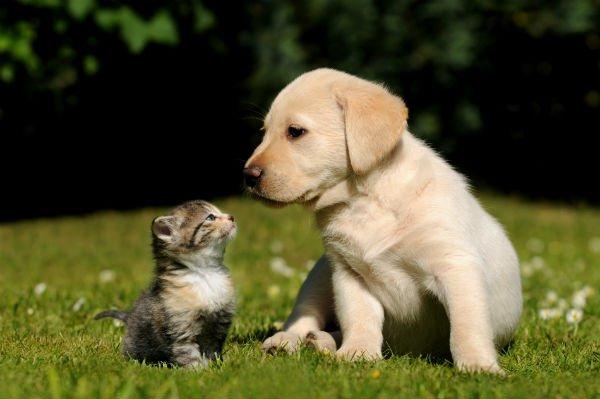 Un cucciolo di labrador e un gattino