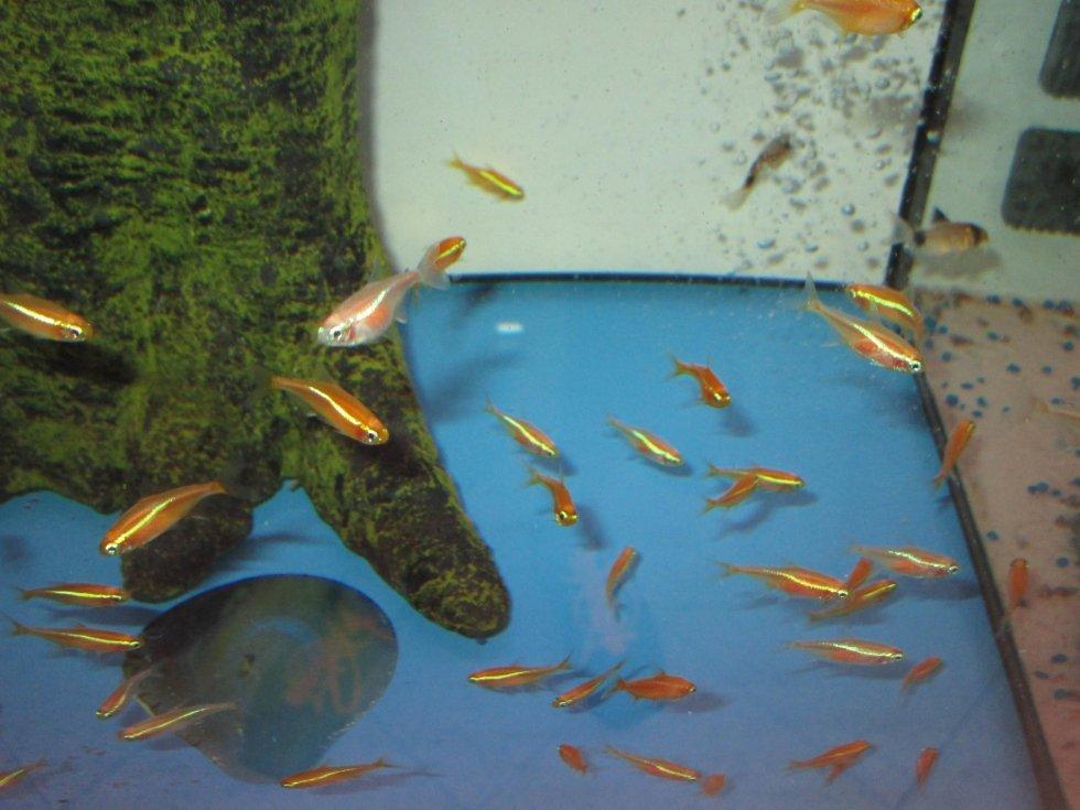 Pesci d 39 acqua dolce castiglione olona acquari e colori for Pesci acqua dolce commestibili