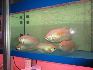 Pesci d 39 acqua dolce castiglione olona acquari e colori for Pesci acqua dolce resistenti