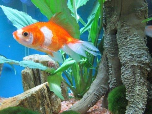 Pesci d 39 acqua fredda castiglione olona acquari e colori for Dove comprare pesci rossi