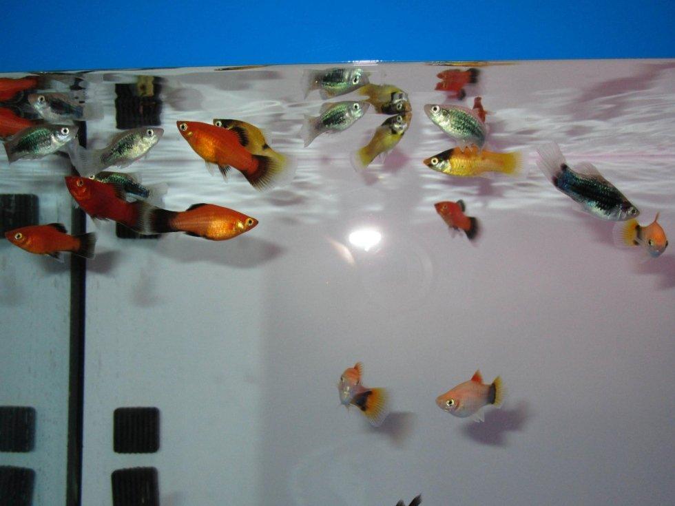 Pesci d 39 acqua dolce castiglione olona acquari e colori for Pesce pulitore acqua dolce fredda