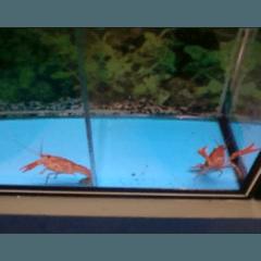 Gambero Procambarus Clarkii