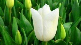tulipani, girasoli, rose