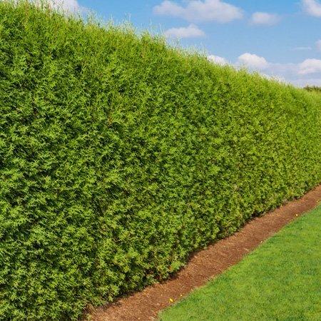 Hedge maintenance image
