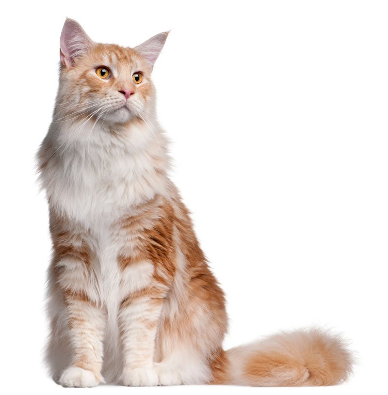 View of a maine coon cat white