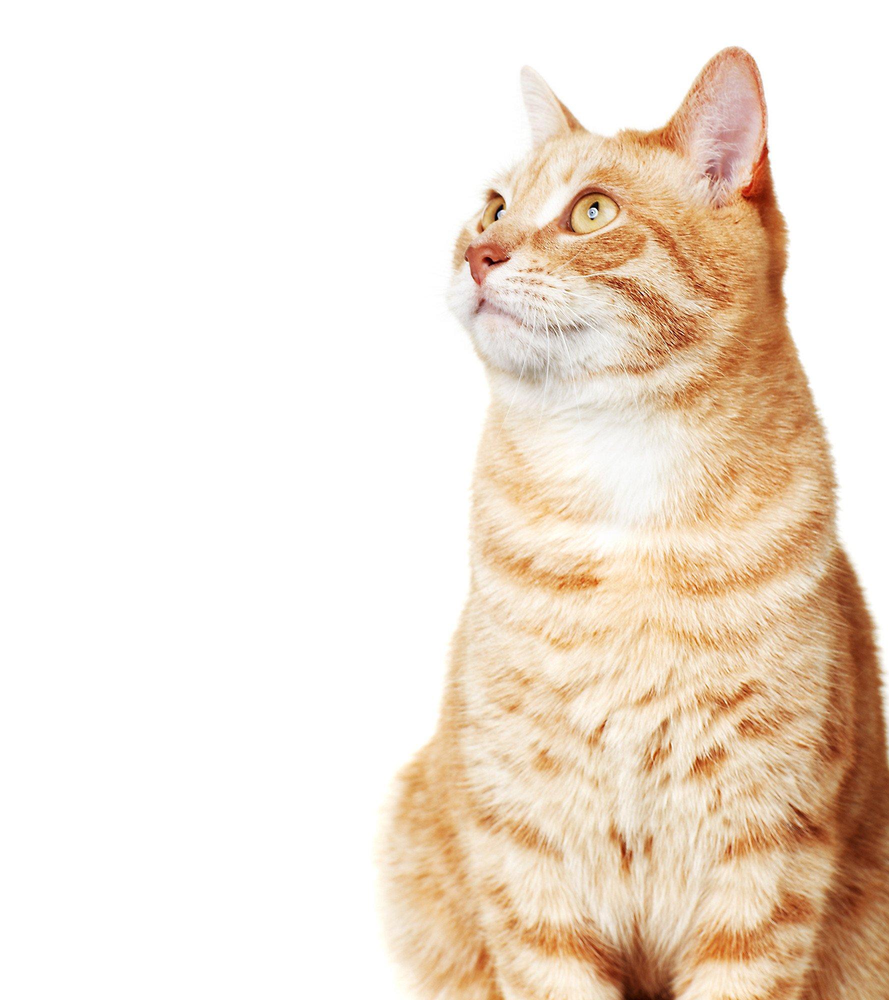 View of golden cat