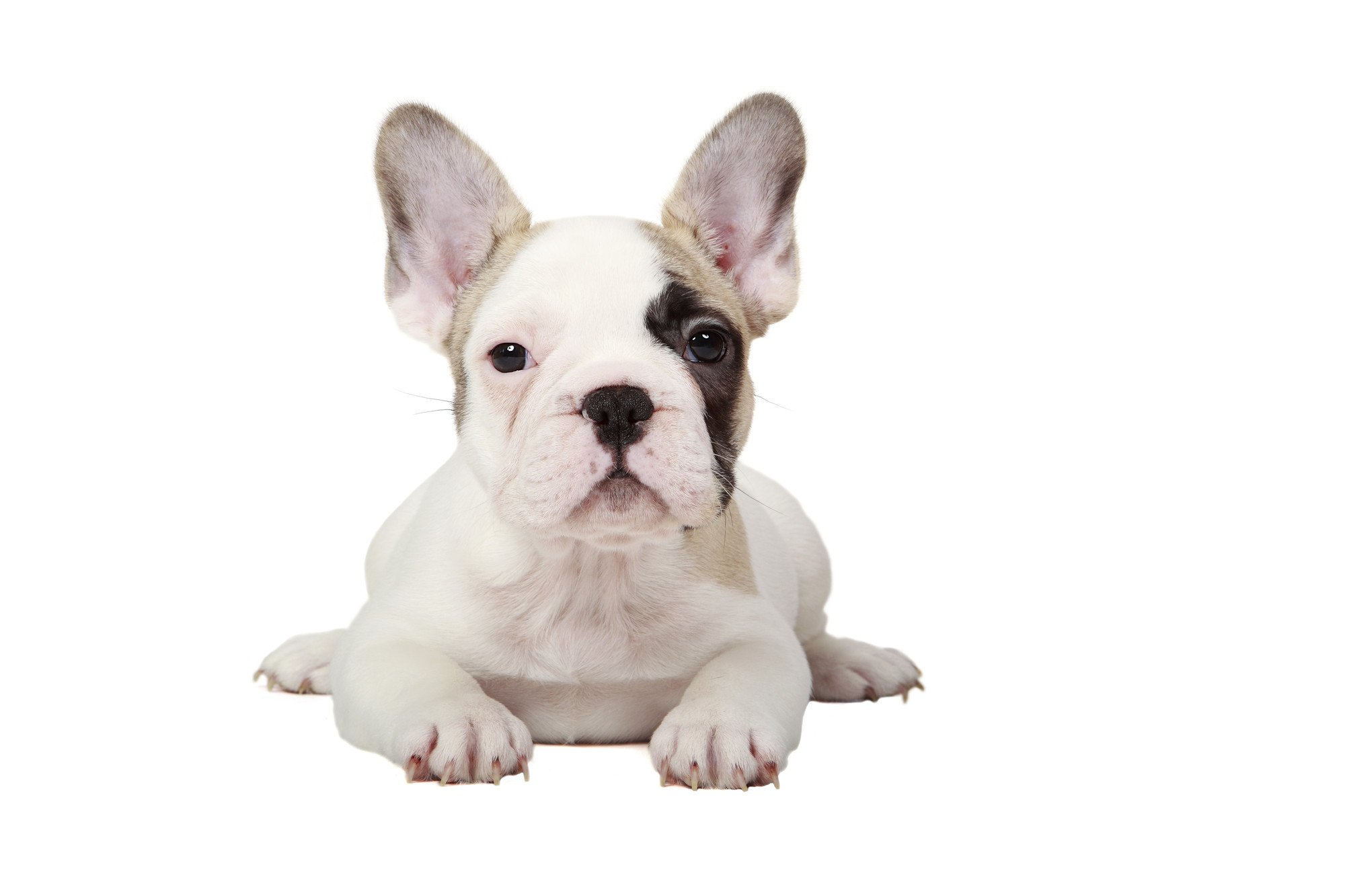 View of a white pied french bulldog