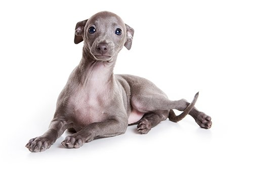 View of a  grey and white italian greyhound