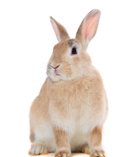 View of a Light golden rabbit