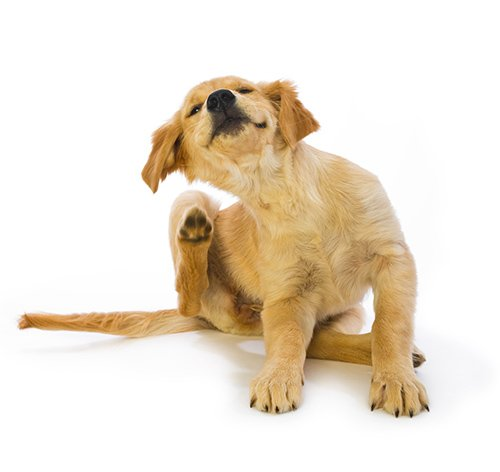 View of a dog scratching its ear