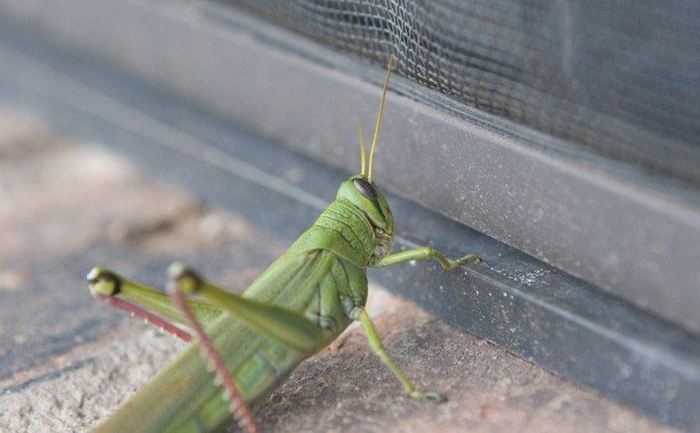 grasshopper at flyscreen window