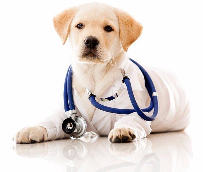 un cane di razza Labrador con uno stetoscopio blu attorno al collo a Assemini, CA