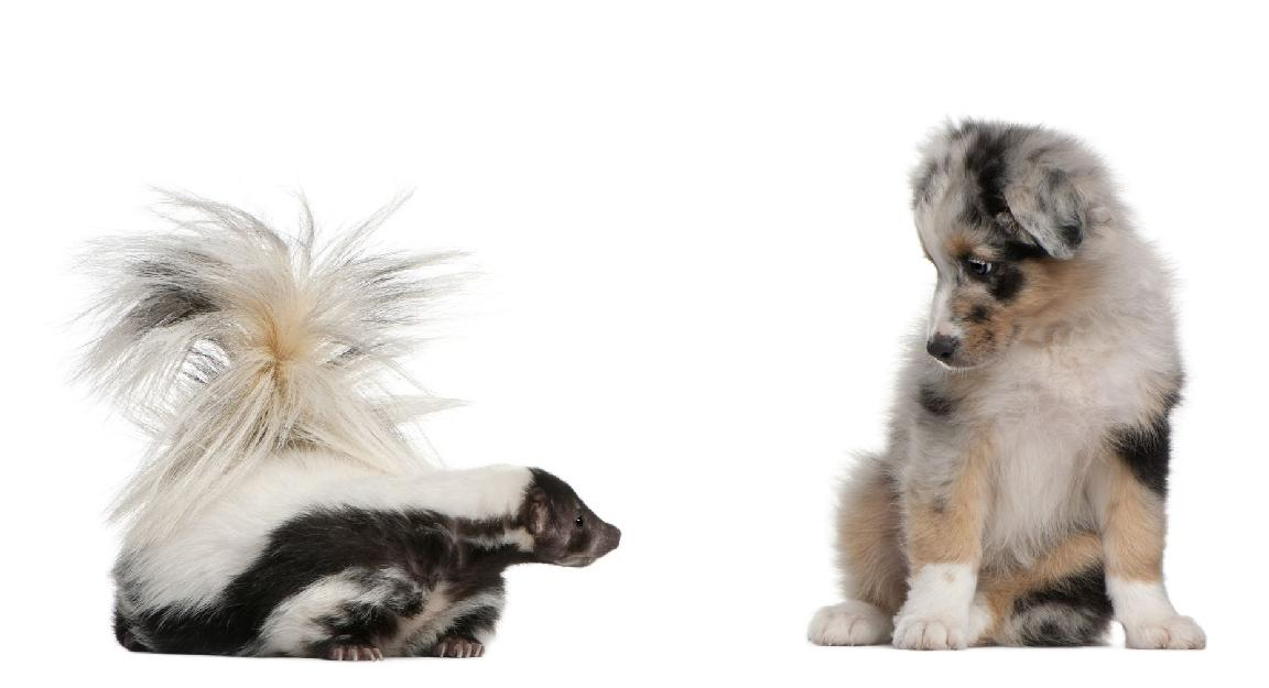 Skunk Smell Removal Is Easy With Essential Oils That