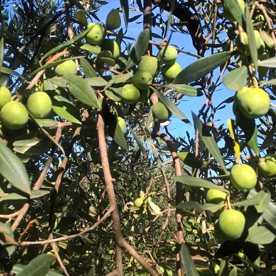 Olive verdi prima della raccolta