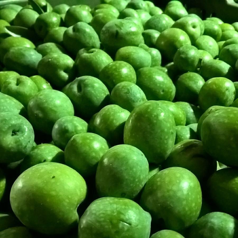 Olive verdi raccolte prima della lavorazione