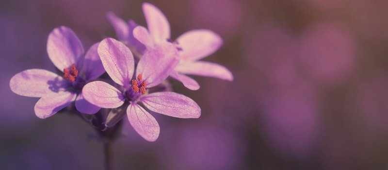 close up of delicate purple flowers