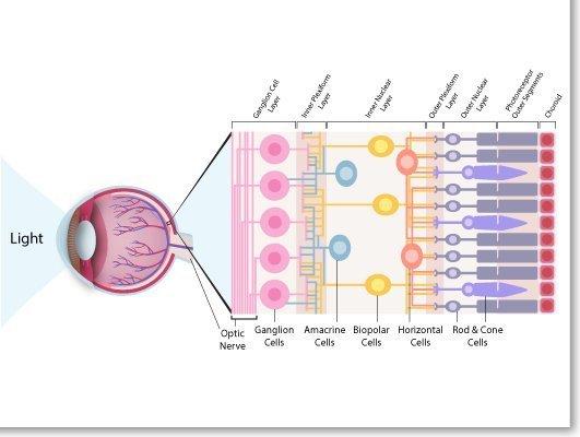 Retina Anatomy
