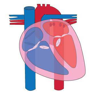 Human heart illustration by Simplified Science Publishing.