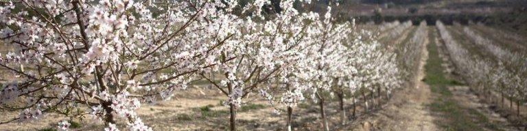 piantagione mandorle siciliane