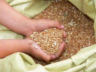 sementi di grano