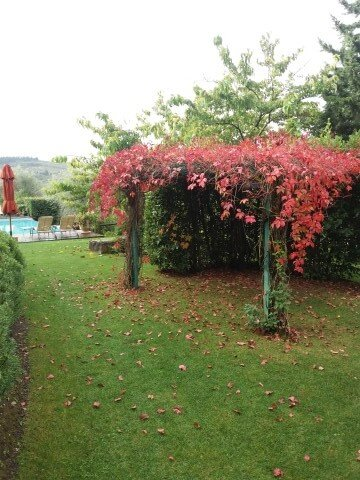 Vine plants with red leaves