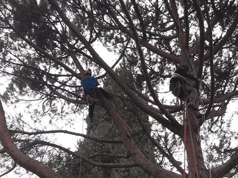 giardinieri atti nella potatura di un albero