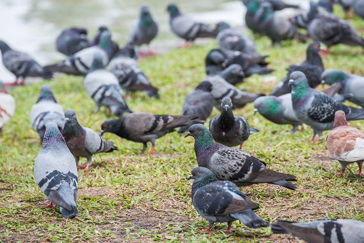 colombo piccione columba livia