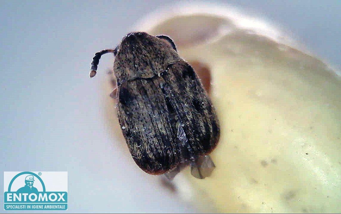 acanthoscelides obectus tonchio fagiolo infestante infestazione  derrate magazzino disinfestazione insetti