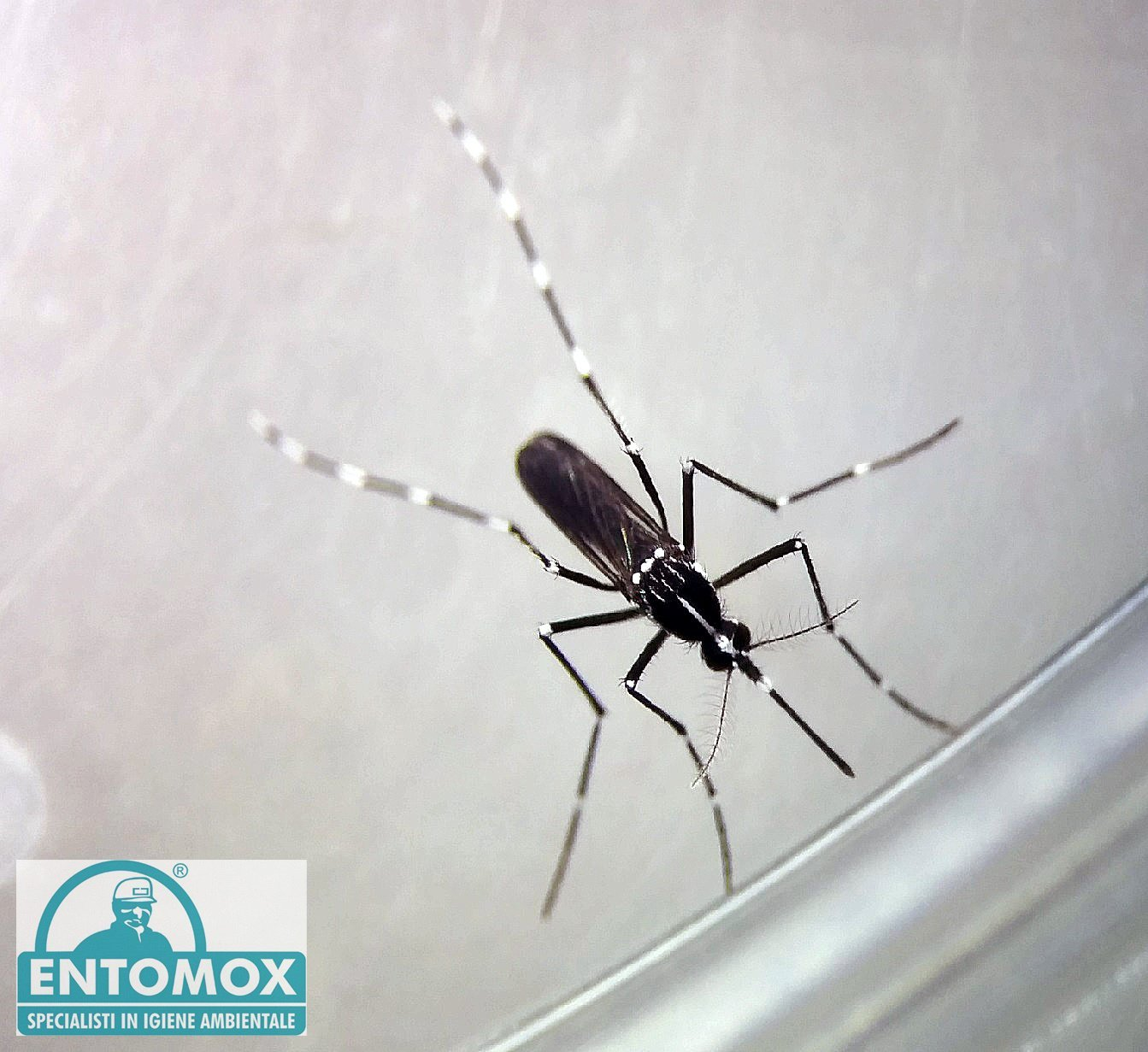 zanzara tigre aedes albopictus