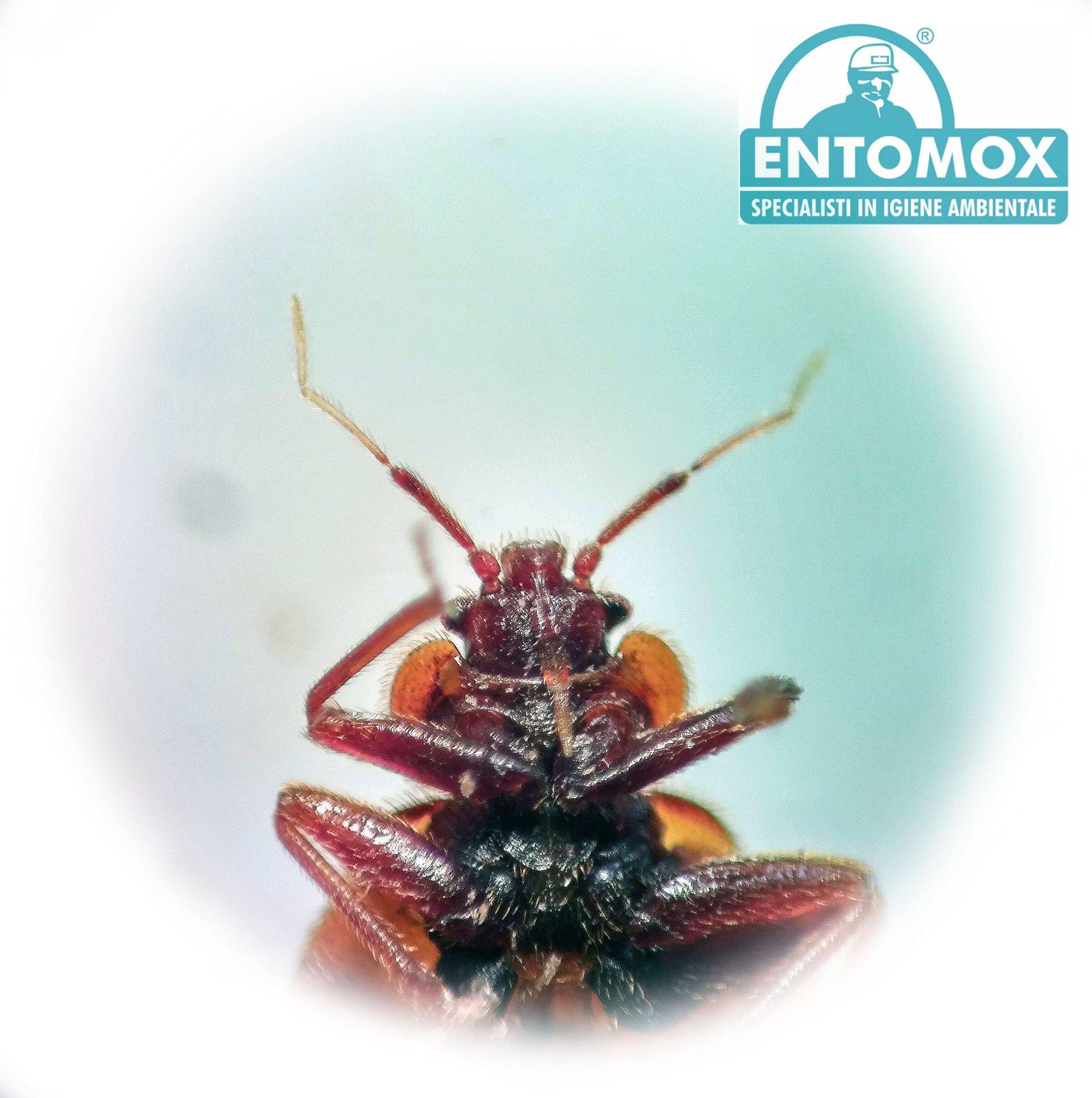 Infestazione da cimici dei letti pisa entomox for Cimici rosse