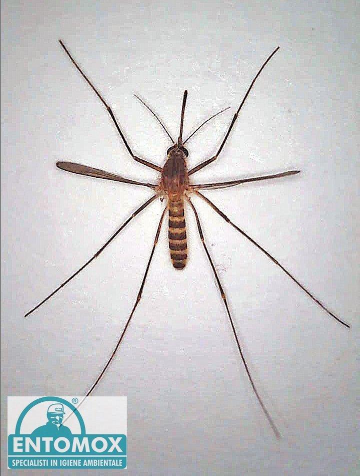 zanzara comune culex pipiens