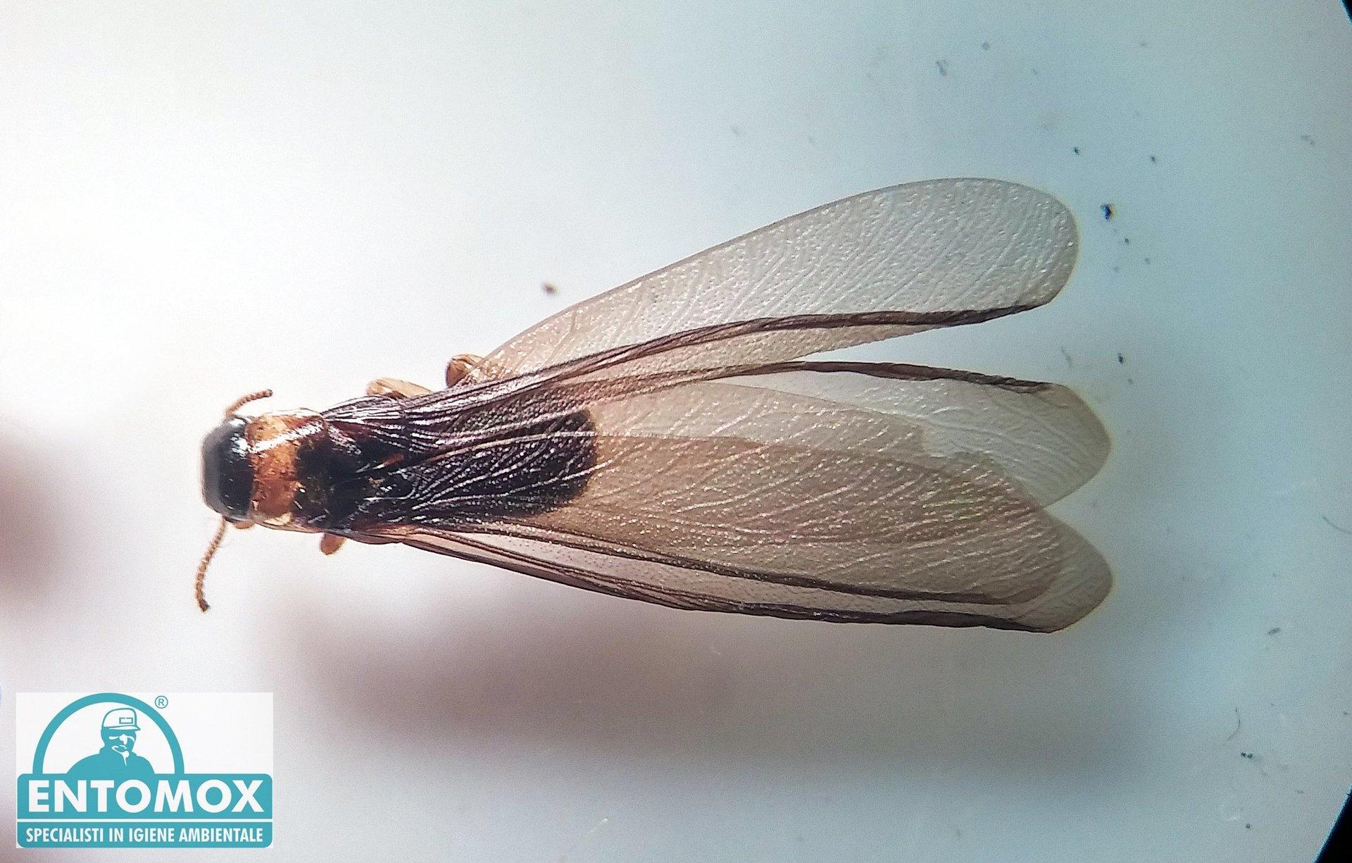 Kaltermes flavicollis termiti alati soldati operaie anello giallo