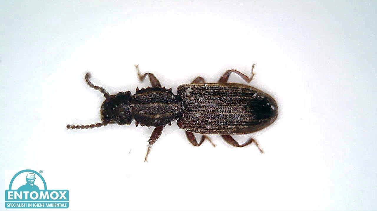 oryzaephilus surinamensis silvano infestante infestazione  derrate magazzino disinfestazione insetti