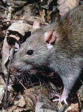ratto fogna rattus norvegicus chiaviche