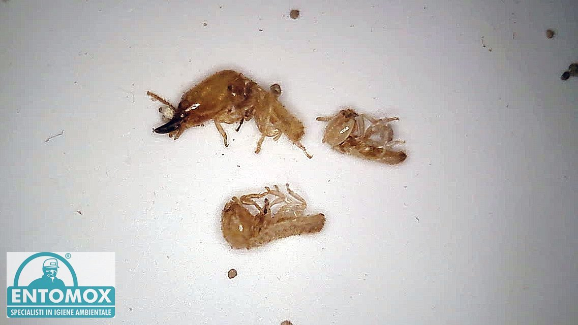 termiti reticulitermes lucifugus legno