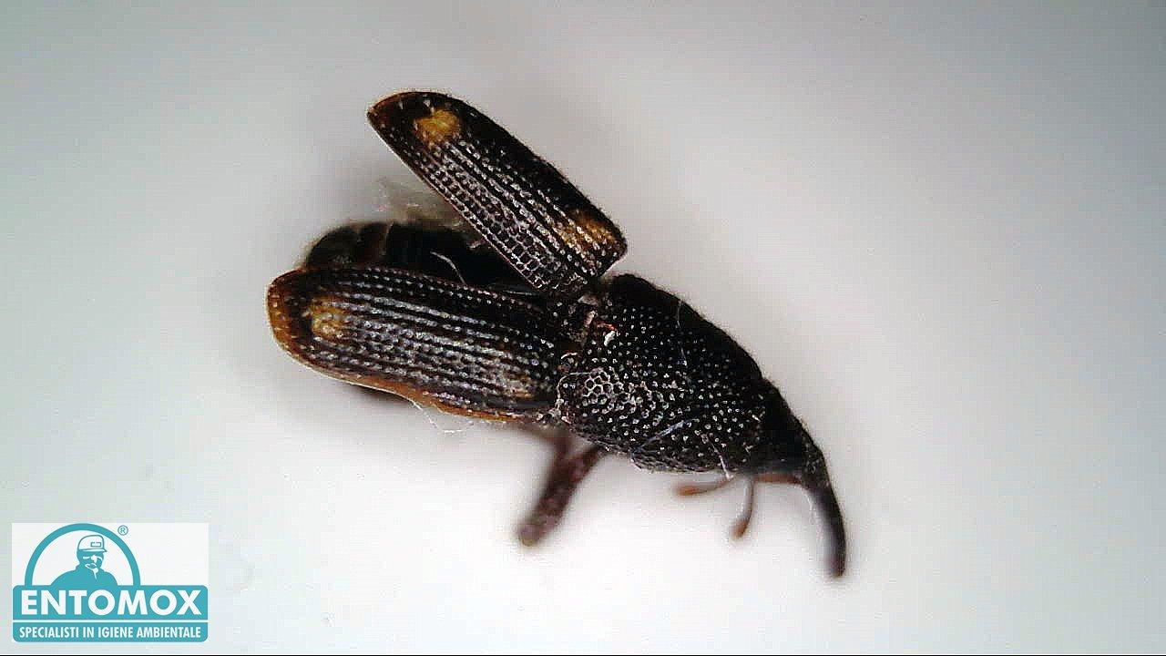 sitophilus oryzae punteruolo calandra riso grano infestante infestazione  derrate magazzino disinfestazione insetti
