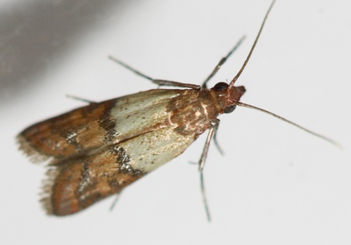 plodia interpunctella tignola fasciata tarma alimenti