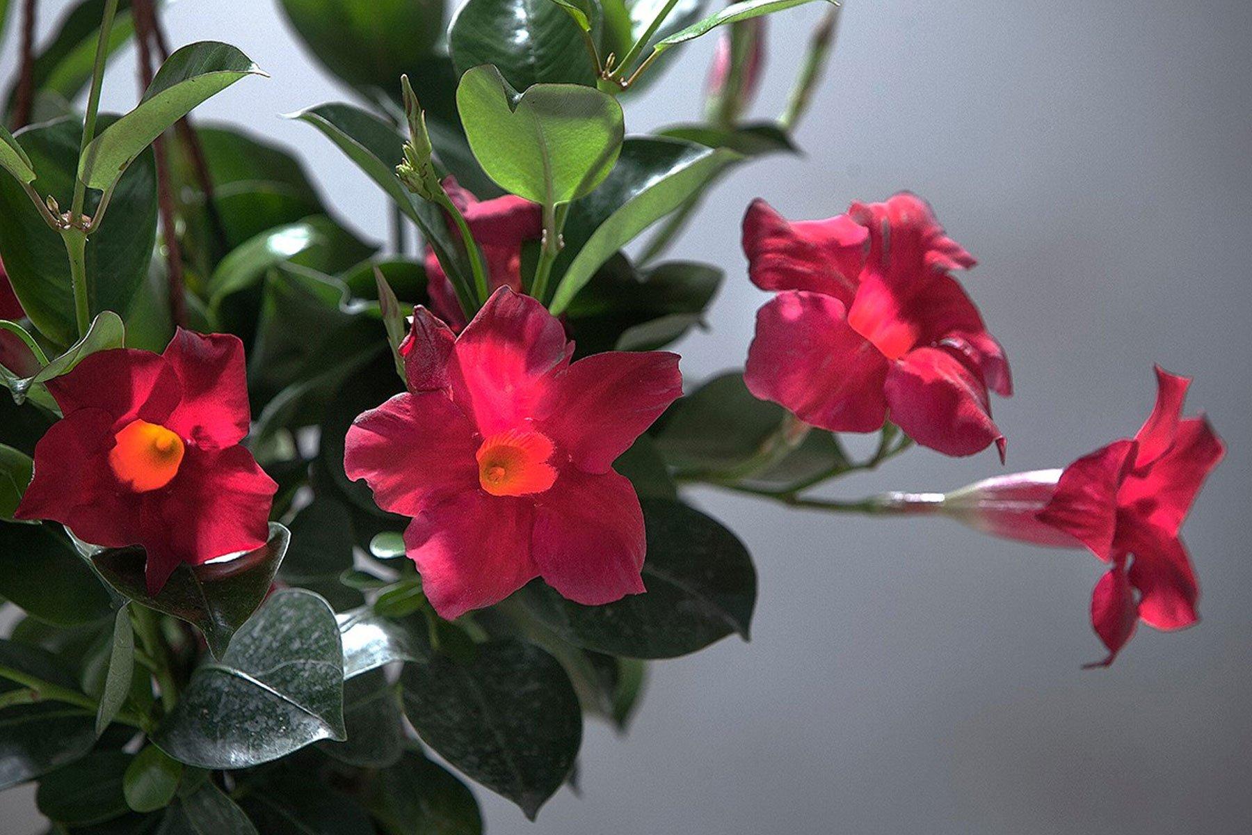 dei tulipani rossi
