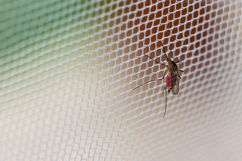 Una zanzara su una zanzariera