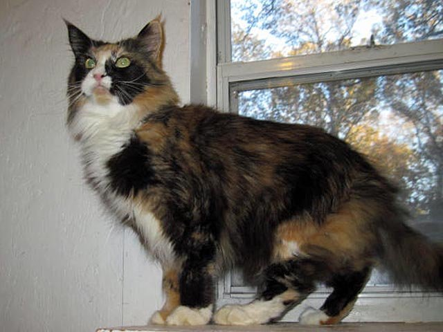 Megacoon Lynda - Black Tortie White Female