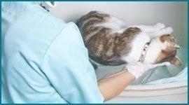 ecografia per gatti
