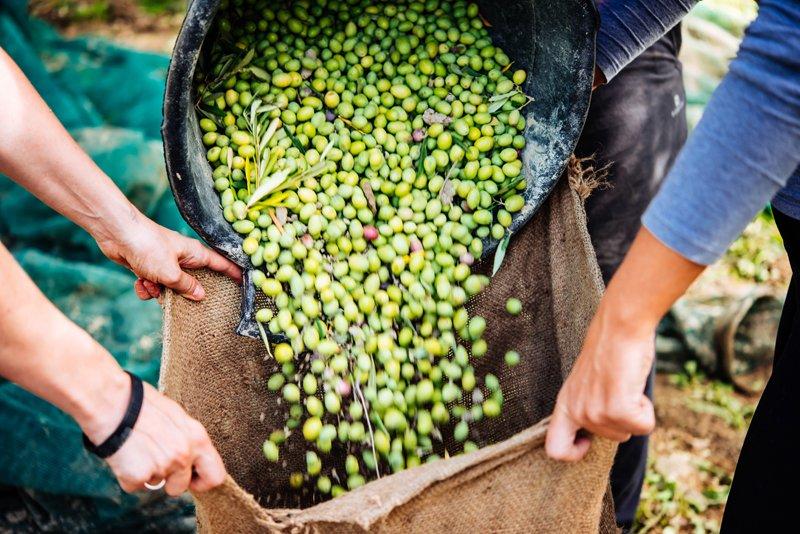 olive biologiche per produzione olio